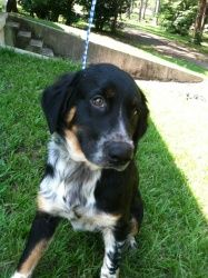Angus is an adoptable Border Collie Dog in Chipley, FL. Angus is a male, Border Collie/Catahoula Leopard mix, 2-3 years old, about 30lbs, very calm, quiet, and walks well on a leash very loving boy ow...