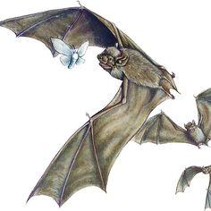 Savi's Pipistrelle - itty bitty bats flying around