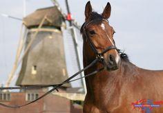 Manege Hippisch Centrum Nootdorp - Fotoalbum - Manege paarden/pony's