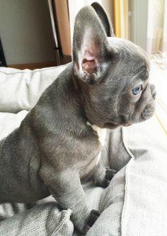 Jacques, blue french bulldog, blue eyes, 8 weeks