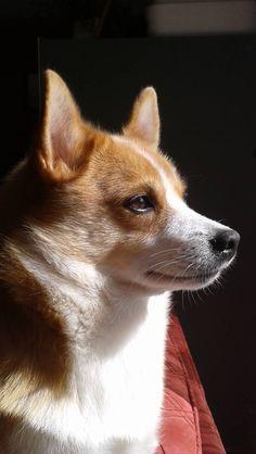 Dezbot the amazing farm dog Farm Dogs, Back In Time, Corgi, Amazing, Day, Photography, Animals, Corgis, Photograph