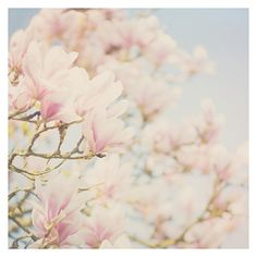 spring is in the air ...  https://www.etsy.com/listing/160658922/pink-magnolia-tree-photograph-color