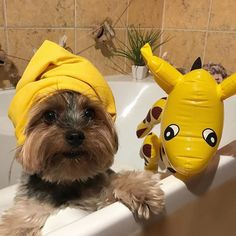 Yorkie Shout Outs — http://ift.tt/2tYdWyD