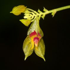 Lepanthes athena?
