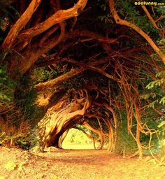 1000 Year Old Yew Tree~west Wales