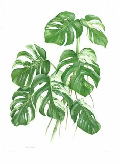 Variegated Cheese Plant by Simon Wiliams SBA