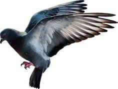 pigeon PNG image