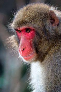 Primates, Kyoto, Monkey Park, Creatures, Animals, Animales, Primate, Animaux, Animais