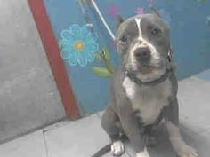 *CODE RED* TIME IS UP! This gorgeous girl needs a foster or forever family to save her life. Lancaster shelter, CA. A4672624 I don't have a name yet and I'm an approximately 6 year old female pit bull. I am not yet spayed. I have been at the  Lancaster Animal Care Center since January 30, 2014. I will be available on February 4, 2014. You can visit me at my temporary home at…