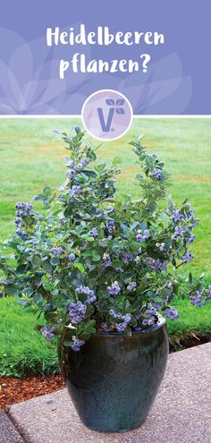 The care of the culture blueberries? Blueberry in the pot / location - Beeren pflanzen - Delicious Fruit, Plantar, Kids Playing, Blueberry, Things To Come, Tricks, Outdoors, Wellness, Gardening