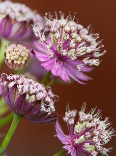 ~~Astrantia major Rubra by bbclare~~ Amazing Flowers, My Flower, Flower Power, Beautiful Flowers, Astrantia Major, Lilies Of The Field, Herbaceous Perennials, Dream Garden, Garden Inspiration