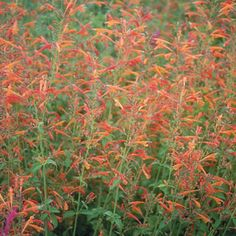 Agastache aurantiaca 'Shades of Orange'- One of my all time favorite perennials - the hummingbirds and butterflies flock to it!