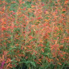 Agastache aurantiaca 'Shades of Orange' Shade Flowers, Peach Flowers, Sun Garden, Tropical Garden, High Country Gardens, Front Yard Plants, Fine Gardening, Desert Gardening, Deer Resistant Plants
