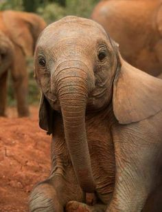 "Such an adorable baby Elephant"" - Elefanten - Animals Cute Creatures, Beautiful Creatures, Animals Beautiful, Cute Baby Animals, Animals And Pets, Funny Animals, Wild Animals, Elephas Maximus, Photo Animaliere"