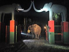 """BREAKING NEWS!! Another Elephant Rescued! After continuous hard-work and patience, with the help of Forestry Dept, Wildlife SOS was able to rescue """"Lilly"""" from Sirsa and she has been bought to our rescue center in Haryana. Here Lilly walks into her new home at the Elephant Rehabilitation & Conservation Center in Ban Santour, Haryana."""