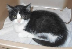 The Davinci Foundation for Animals RESCUE ACROSS THE NATION:MO Meet Lizzy, a 3 months 22 days Domestic Medium Hair / Mix available for adoption in HOLLISTER, MO Contact Information Address 255 Critter Trail , Unit, HOLLISTER, MO, 65672 Phone (417) 332-0172 Website http://www.taneycohealth.org Email simpss2@lpha.mopublic.org