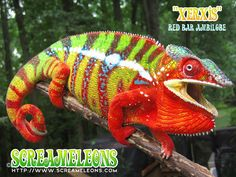 Xerwis is a Red Bar Ambilobe Panther Chameleon. This Screamer is unreal. This is what we call EXTREME COLOR. It is 100% what we strive for in our efforts to produce these stunning chameleons that don't disappoint.