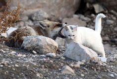 zorro y gato turquia