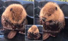The baby beaver was found injured at the top of a hill on the Calgary course and taken in by the Alberta Institute for Wildlife Conservation. It is believed a predator picked him up and dropped him.
