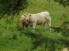 The Charolais is a breed of taurine beef cattle from the Charolais area surrounding Charolles, in Burgundy, in eastern France. Charolais are raised for meat; they may be crossed with other breeds, including Angus and Hereford cattle. A cross-breed with Brahmans is called Charbray and is recognised as a breed in some countries.