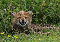 Cheetahs, Fox, Animals, Beautiful, Animales, Animaux, Cheetah, Animal, Animais