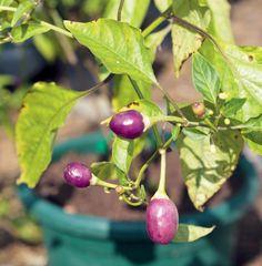 Kirsikan näköinen chili muuttuu violetista punaiseksi. Maku on aluksi kuin voimakas mustaviinimarja.
