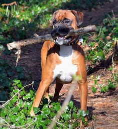"""""""Wait til the guys see this!"""" #dogs #pets #Boxers Facebook.com/sodoggonefunny"""
