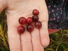 Cranberries Terschelling