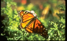 Monarch Grove Butterfly Sanctuary, Pacific Grove- free