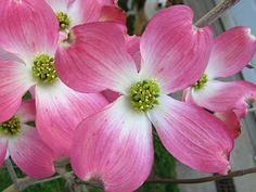 The Official North Carolina State Flower is the Dogwood. It's found all across the state from the beaches to the mountains. It blossoms from early spring into summer and produces pink or white flowers. Pink Dogwood, Dogwood Trees, Dogwood Flowers, White Flowers, Southern Sweet Tea, Growing Greens, Going To Rain, Bird Pictures, Calla Lily