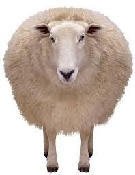 Image result for sheep photos
