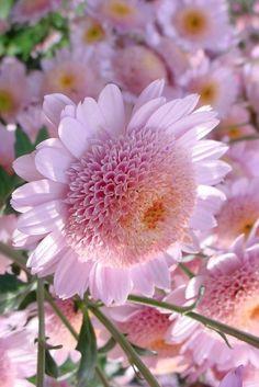 flowersgardenlove:  Pink Mums Flowers Garden Love