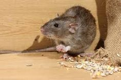 Rodent Control - dealing with rodents can be quite tricky for those who are not experienced enough and in that case you can choose squeak pest control modern treatments. Rat Control, Best Pest Control, Pest Control Services, Best Mouse, Types Of Insects, Pest Management, Rodents, Fleas, Animal Drawings