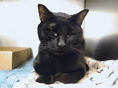 ZACH - A1090985 - - Manhattan   *** TO BE DESTROYED 10/03/16 *** SWEETNESS PURRSONIFIED!! Hard to believe, ZACH was all by his lonesome for 2 days in a hallway before someone called the NYPD to pick him up as an abandoned cat….ZACH is having some possible liver issues right now that need to be investigated and cared for by a competent vet but through it all he is still head-butting!! Liver issues can arise when a cat hasn't eaten and those 2 days (or possibly mo