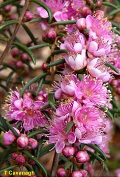 Hypocalymma robustum -- Swan River Myrtle Australian Wildflowers, Australian Native Flowers, Australian Plants, Exotic Flowers, Beautiful Flowers, Bush Garden, Australian Native Garden, Native Australians, Language Of Flowers