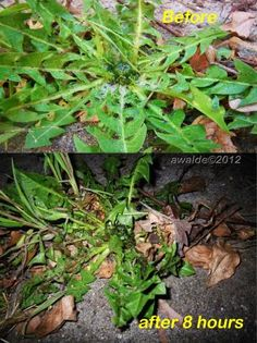 WEED KILLER - 2 c salt, 1 gallon white vinegar (at least 5% acidity), 8 drops Dawn Dishsoap.  It wil kill what is sprayed!