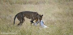 Photographing Cheetahs - hints and tips for capturing photographs of cheetahs in the African parks of Kgalagadi, Madikwe, Pilanesberg, Etosha and Kruger National Park Kruger National Park, National Parks, Cheetahs, Game Reserve, Wildlife Photography, Safari, African, Animals, Animales