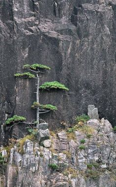 Bonsai styling inspiration Huangshan Pine against Rocky Cliffs, by Leping Zha All Nature, Amazing Nature, Mother Earth, Mother Nature, Nature Sauvage, Unique Trees, Tree Forest, Natural World, Trees To Plant