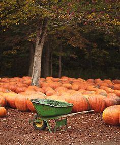 Wheelbarrow amid pumpkins