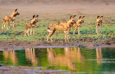 African wild dogs in the Okavango Delta, Botswana moments before a hunting chase. by Shem Compion / Shem Images Photography