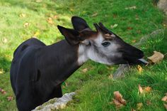 http://upload.wikimedia.org/wikipedia/commons/1/14/Zooparc_de_Beauval_Okapi_2.jpg