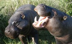 Pygmy Hippos! Why yes I would like one! ^^