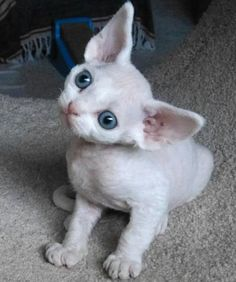 Your cat's ears are far more than just the soft, furry bits that you could scratch and pet all day. They serve lots of functions and have fascinating abilities. Crazy Cats, I Love Cats, Cute Cats, Devon Rex Kittens, Animal Gato, Cornish Rex, Kitten Care, Tier Fotos, Cat Facts
