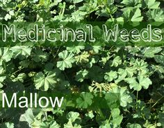 Mallow: This is one of the most amazing, healing weeds on the planet.
