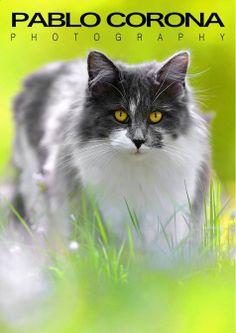 King Friday #kittycat @Pablo Corona Photography