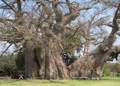 """Big Baobab Tree (Adansonia digitata): This giant and ancient baobab at the Sunland Nursery, between Duiwelskloof and Ga-Kgapane, is the biggest specimen in the world. It has a circumference of 46,8m and carbon dating has determined its age at an astronomical 6000 years."" from http://www.places.co.za/html/tzaneen.html  ""When baobabs become a thousand years old, they begin to hollow inside. In the Big Baobab this has resulted in wonderful caverns and caves, where the world famous Baobab Tree…"