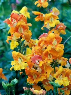 Butterfly Bronze Snapdragon - host plant for Common Buckeye
