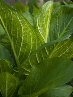 Skunk Cabbage (was used to stimulate the removal of phlegm in asthma)