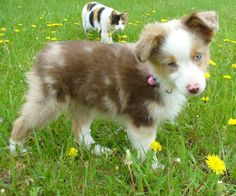 Miniature Australian Shepherd || for herding my miniature animals!