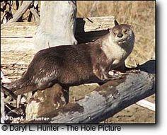 River Otter, Snake River, Grand Teton National Park